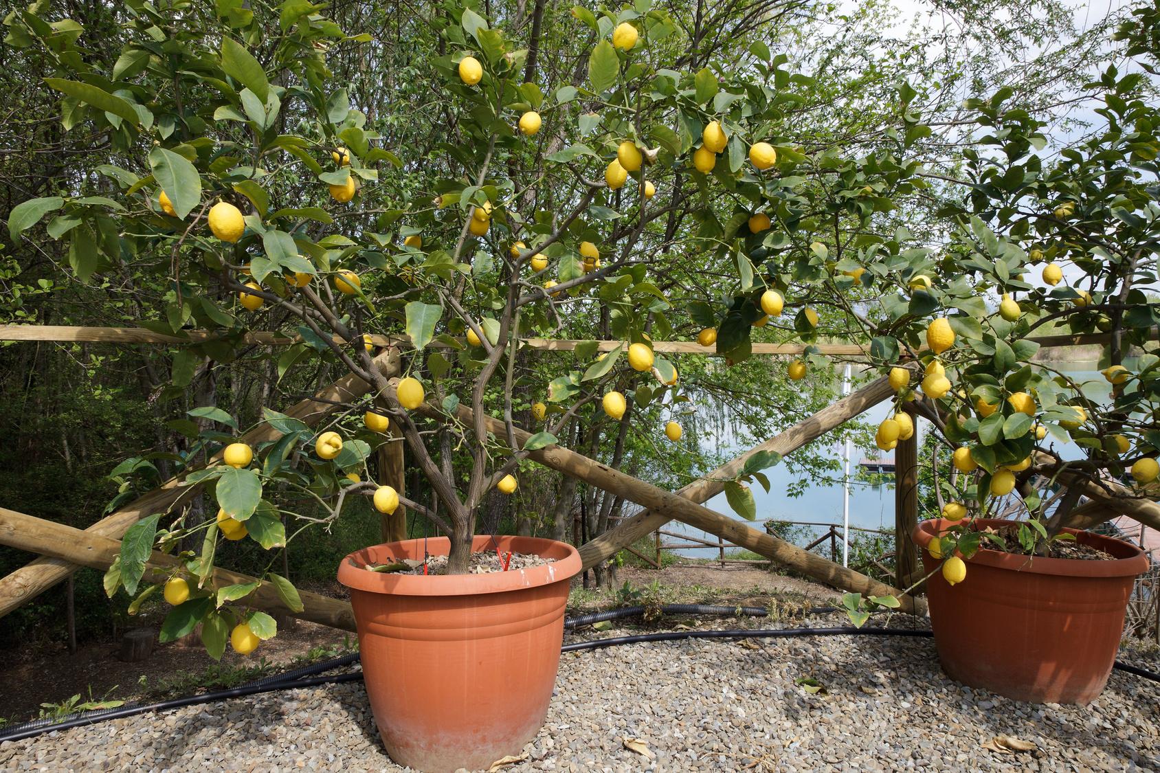 Agrumi in vaso le cure da riservare loro durante l 39 inverno for Limoni in vaso