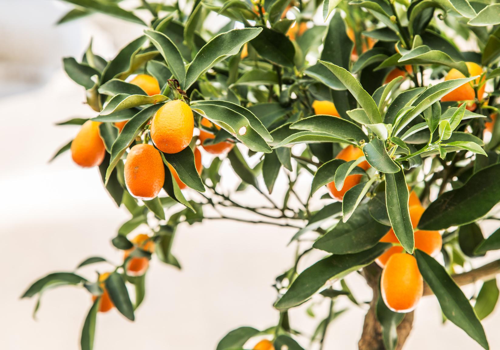 Agrumi in vaso le cure da riservare loro durante l 39 inverno for Periodo potatura limone