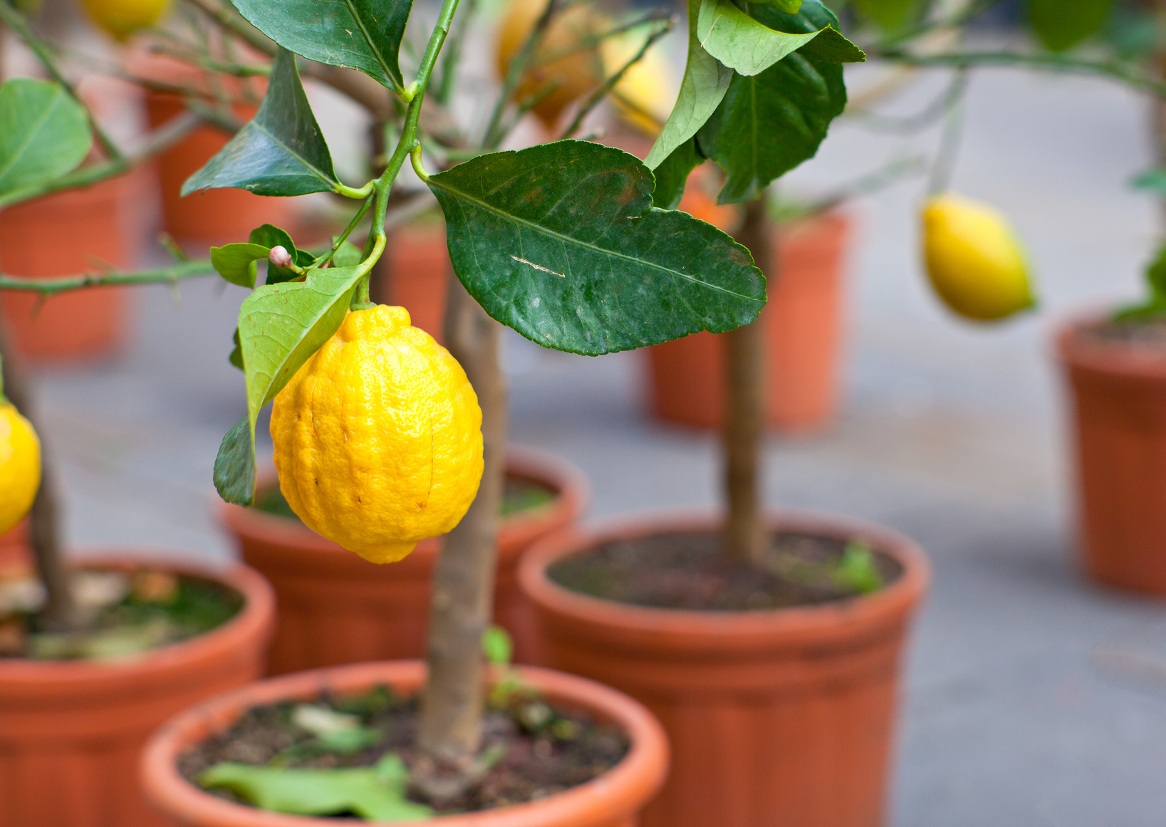 Alberi Nani Da Giardino come trapiantare un albero da frutto nel giardino