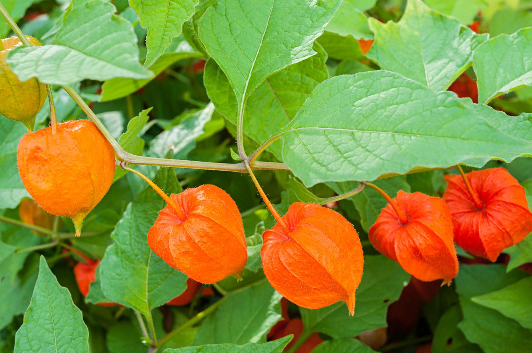 Pianta Ornamentale Con Bacche Rosse cos'è l'alchechengi, un frutto insolito semplice da coltivare