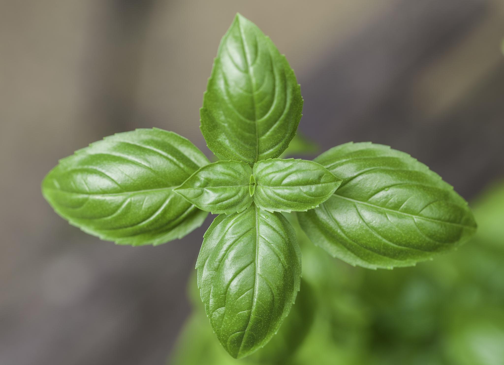 Come coltivare il basilico sul balcone for Coltivare il basilico