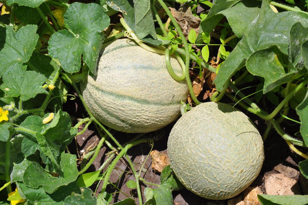 Cocomeri e meloni come capire quando raccoglierli for Pianta di melone