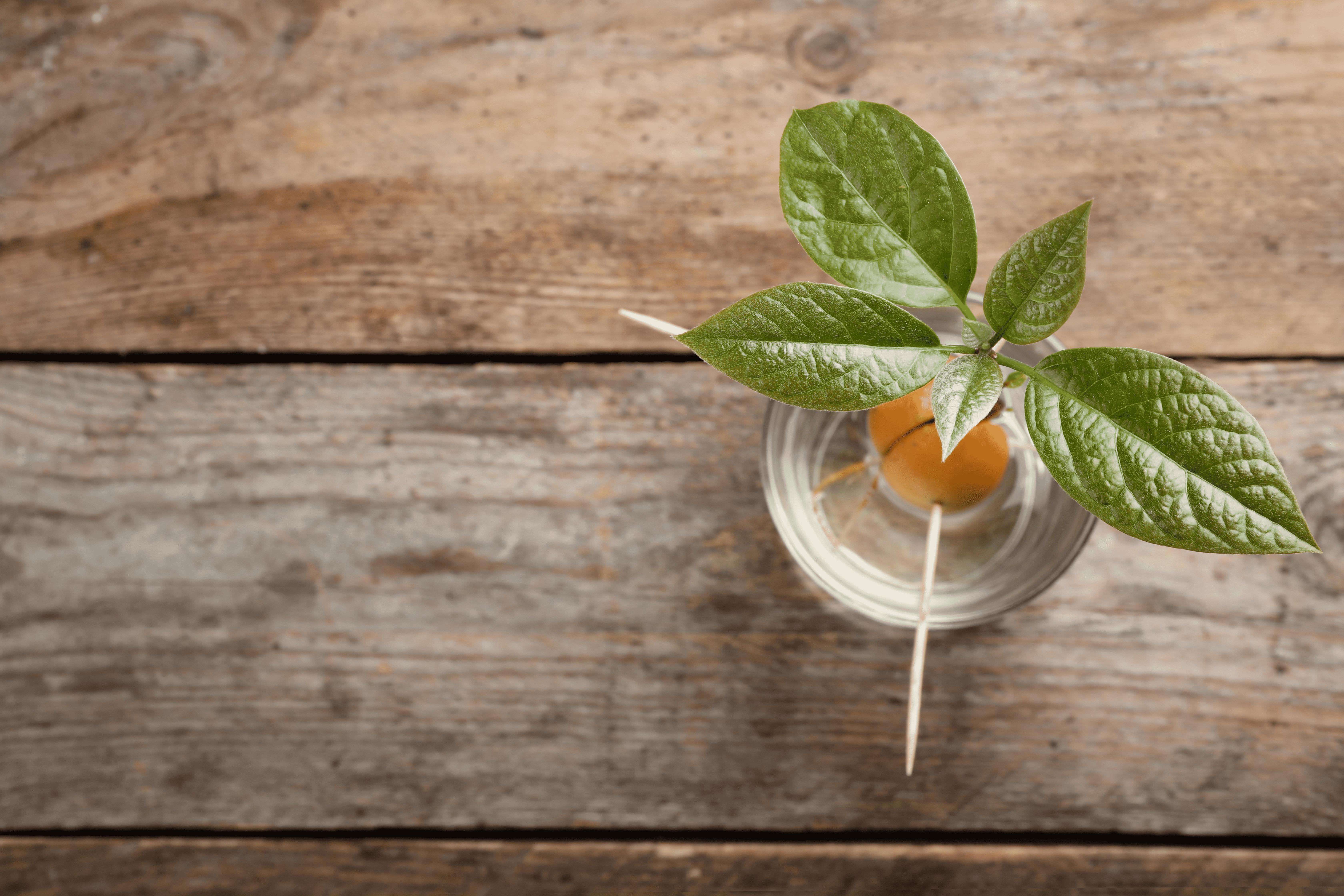 Nocciolo Di Avocado In Acqua piantare avocado in casa o sul balcone: ecco cosa fare