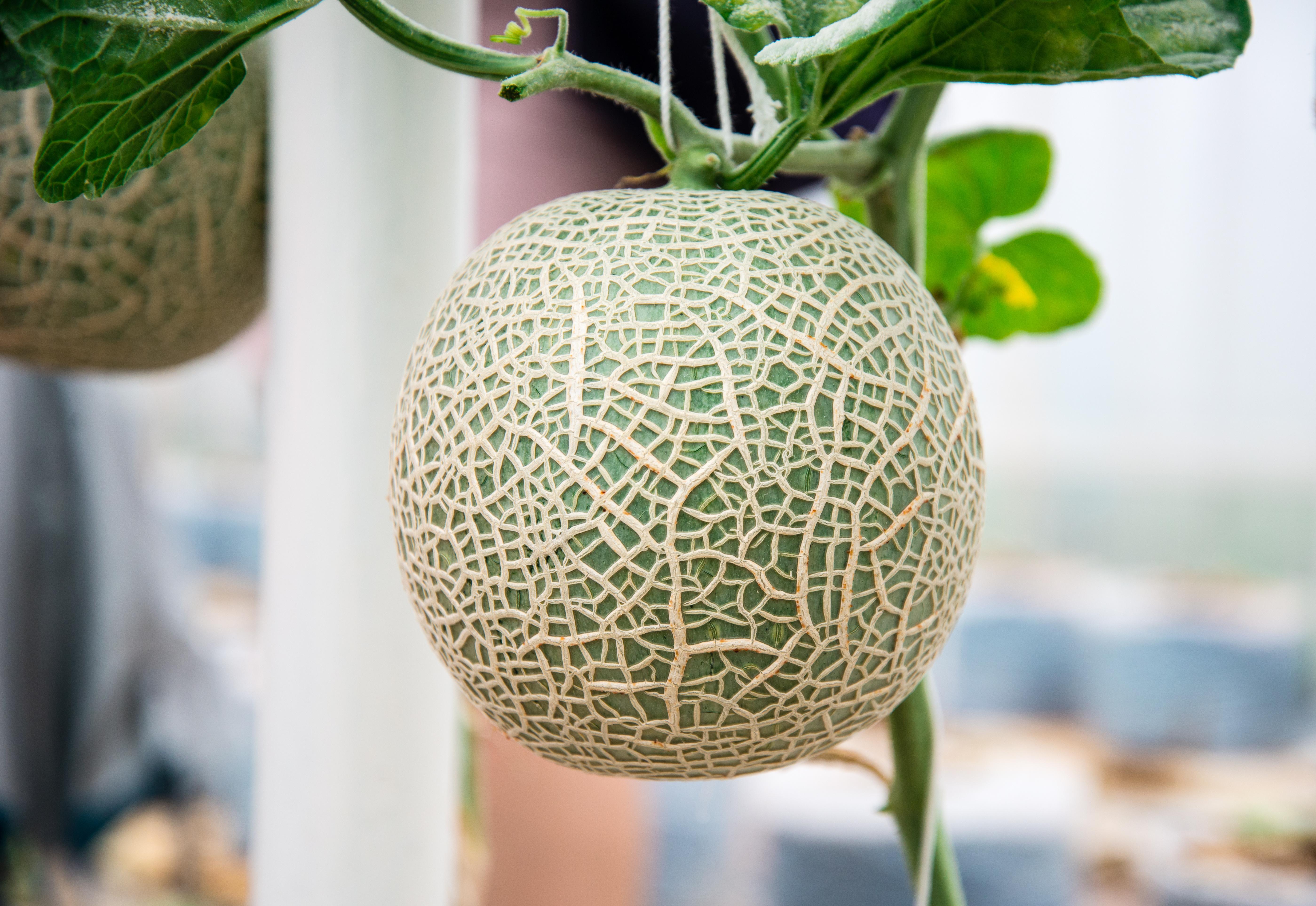 Come Coltivare Pomodori Sul Balcone orto sul balcone: come coltivare il melone in terrazzo