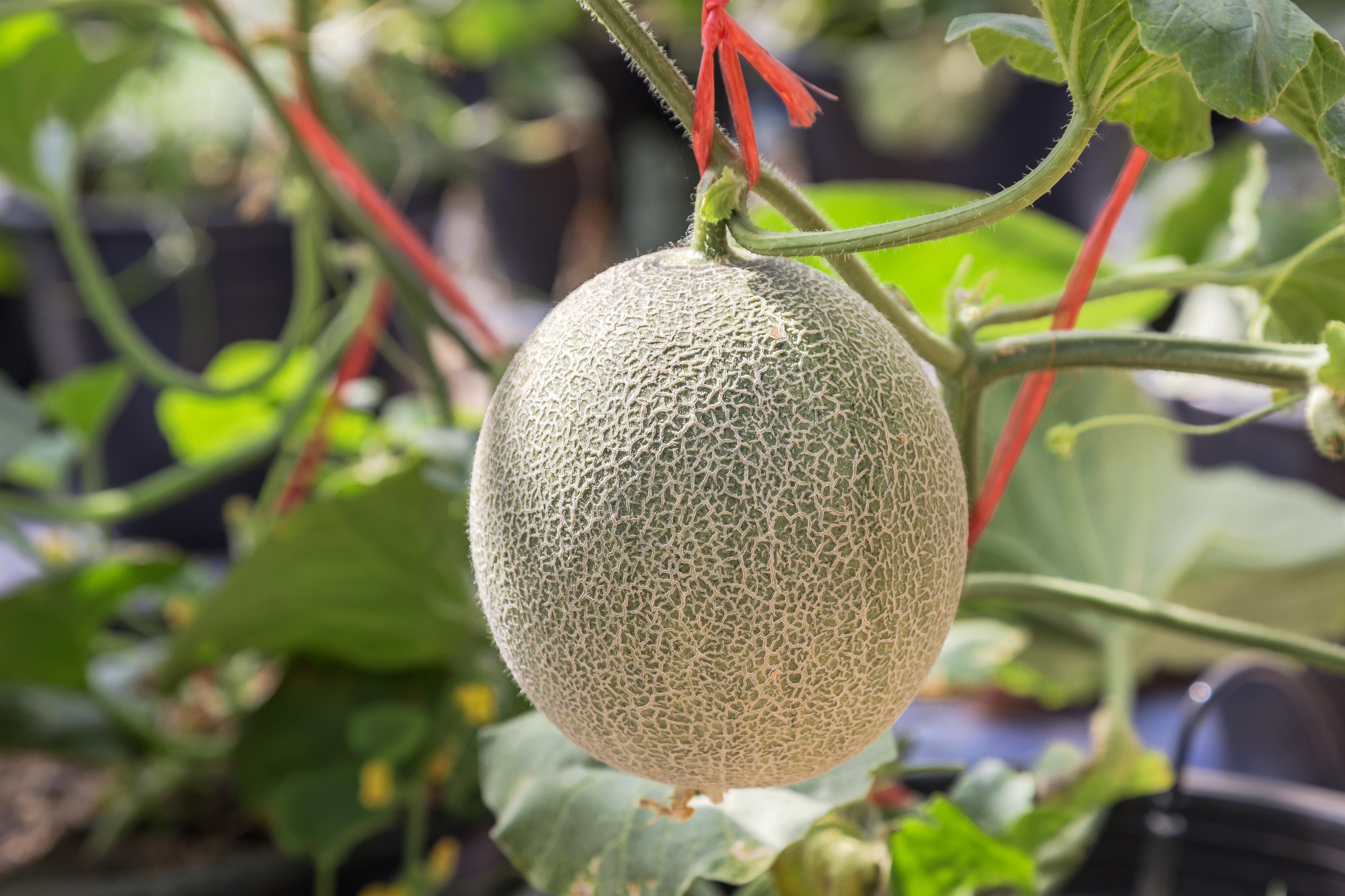 Orto sul balcone come coltivare il melone in terrazzo for Pianta di melone