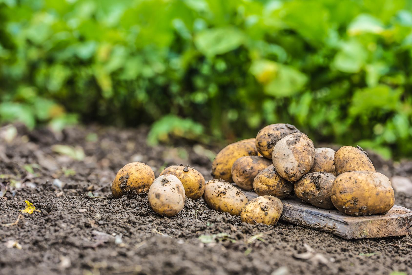 Come Seccare Le Piante coltivare le patate, 5 indicazioni utili