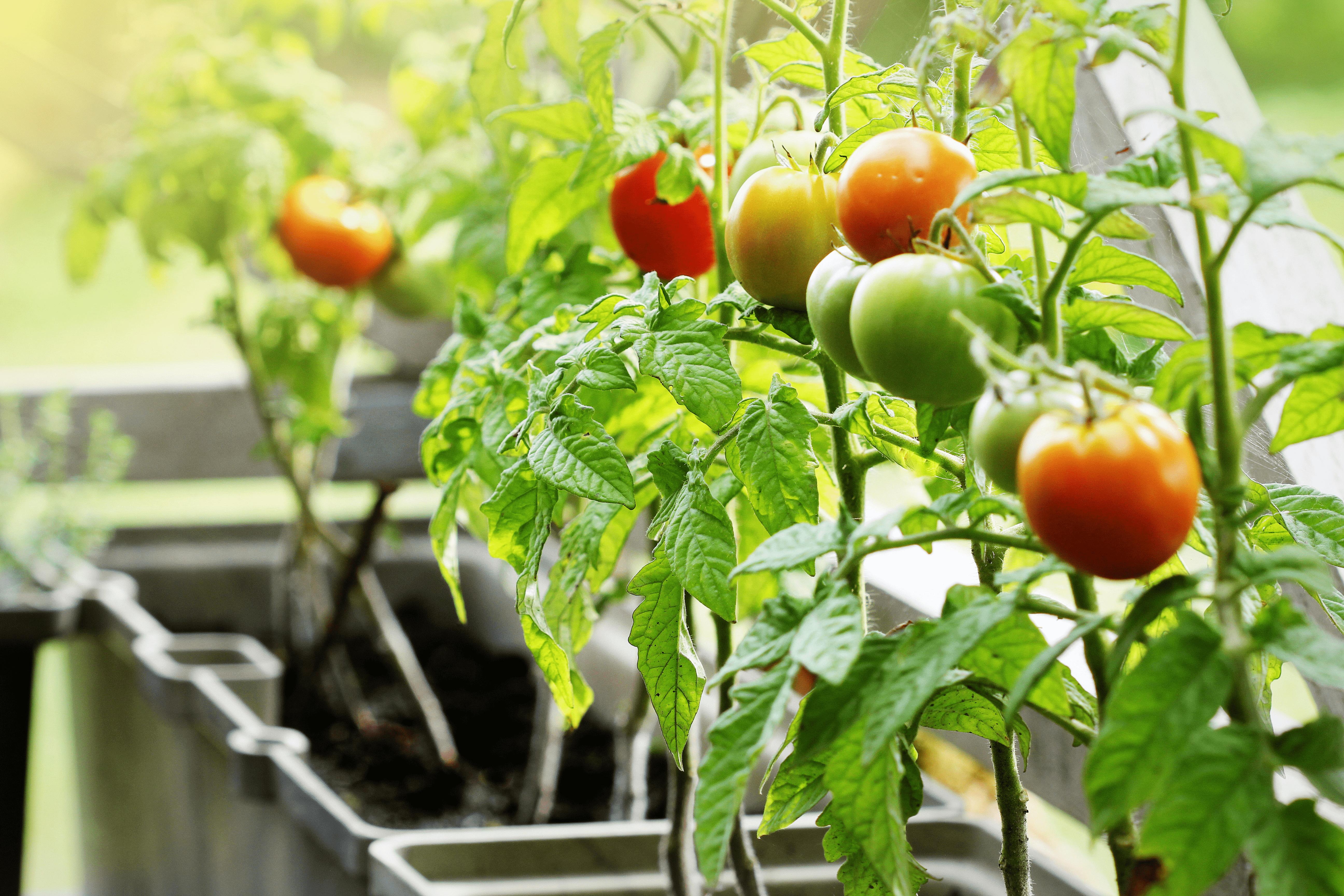 Sostegni Per Pomodori In Vaso coltivare pomodori in vaso: 10 passi per farlo al meglio