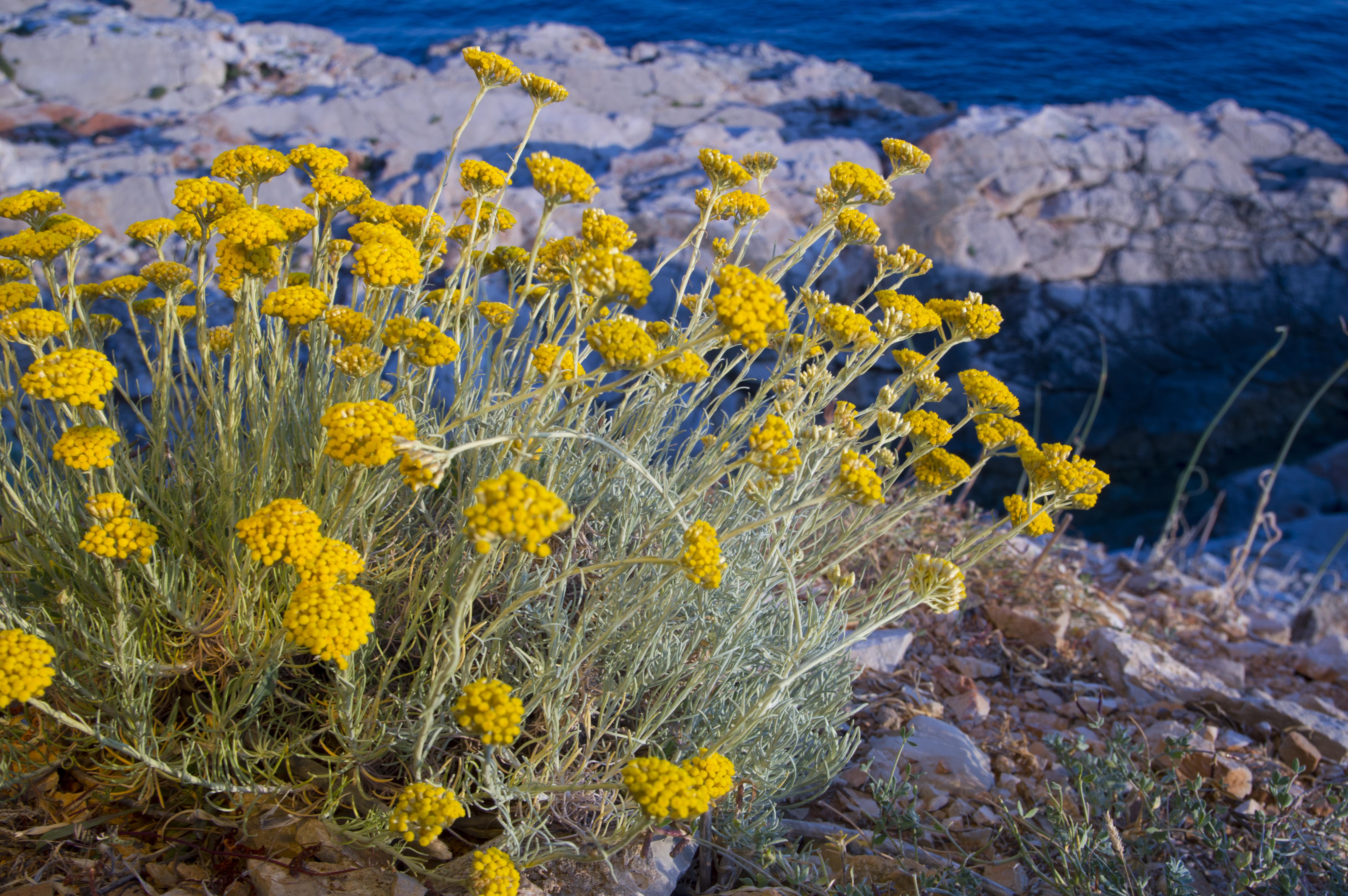 Pianta Simile Al Rosmarino elicriso liquirizia, l'aromatica dal sapore sorprendente