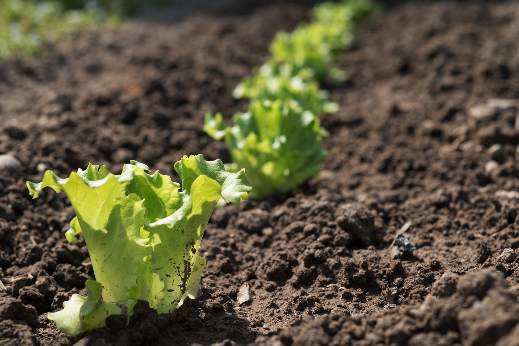 Orto in estate cosa piantare for Piantine orto prezzi