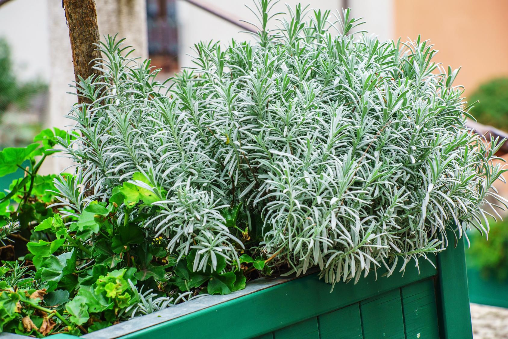 Le Piante Aromatiche : Le aromatiche più facili da coltivare
