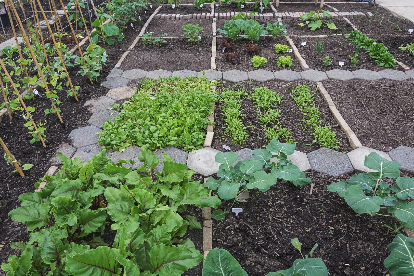 La rotazione degli ortaggi come pianificare l 39 orto - L orto in giardino ...