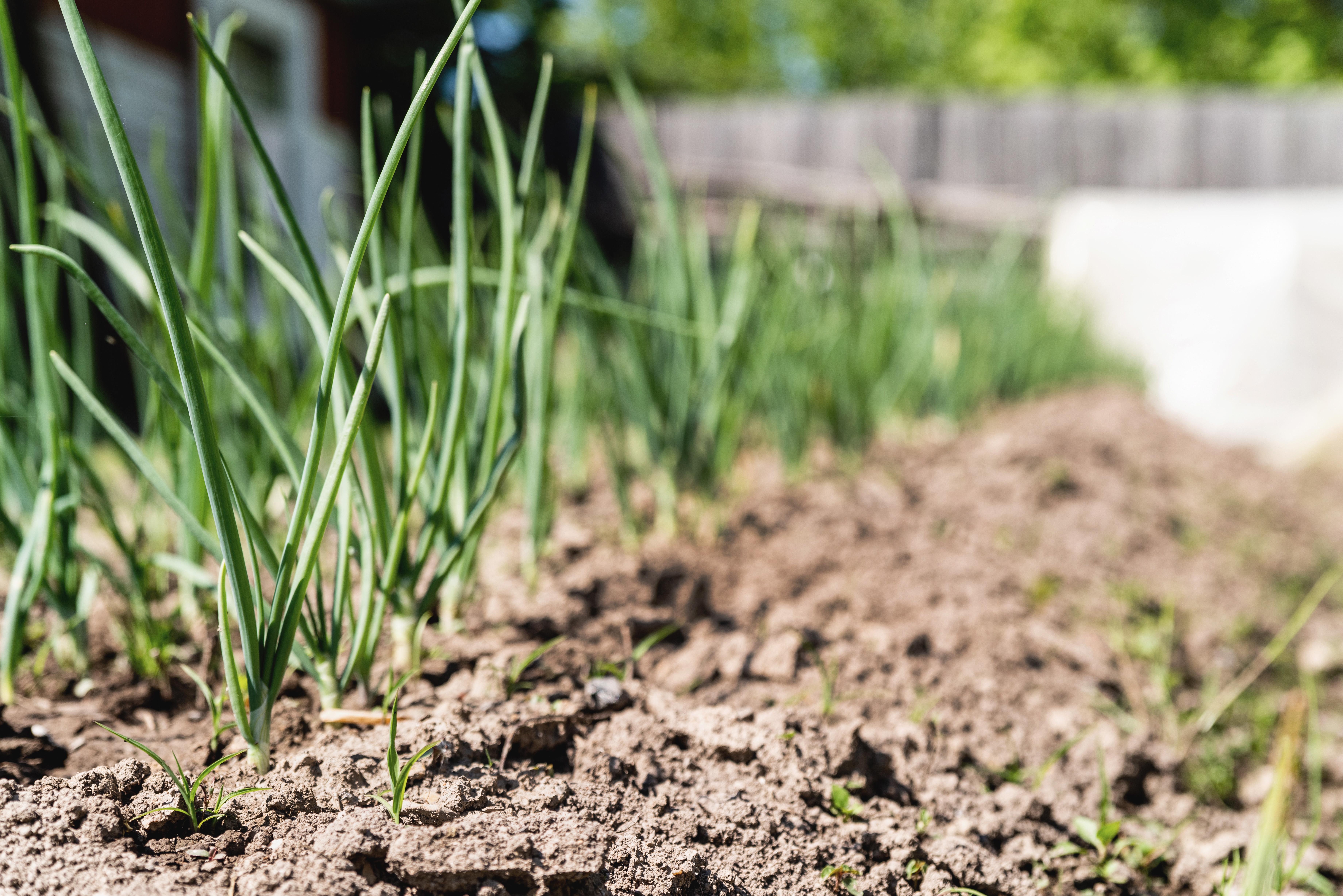 Scalogno di Romagna, come si coltiva