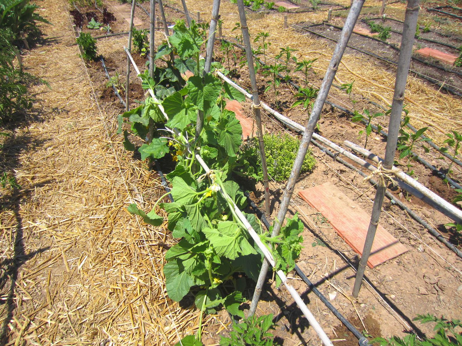 I sostegni delle piante a cosa servono e come posizionarli for Piante pomodori in vaso