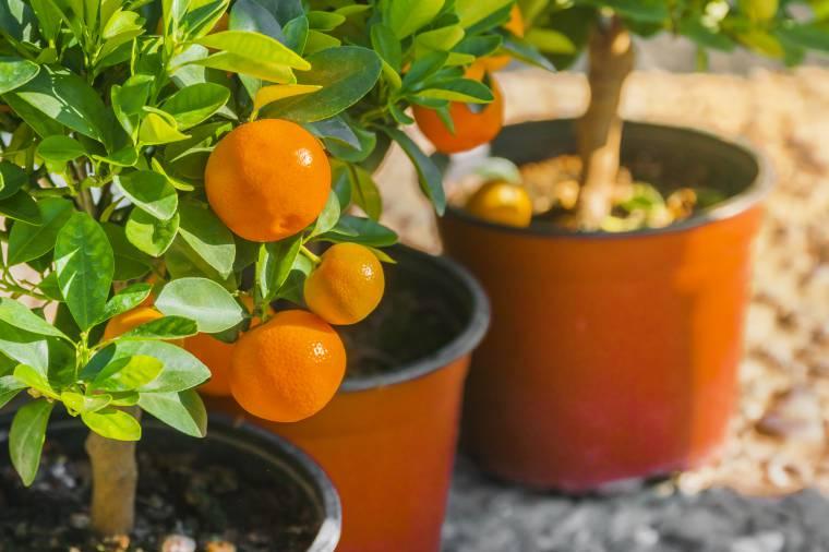 Agrumi in vaso come rinvasare in primavera for Terriccio per limoni in vaso