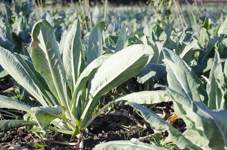 Risultati immagini per broccoletti di custoza