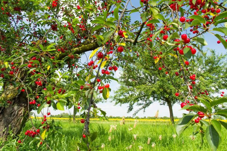 Quando piantare alberi da frutto ciliegio stunning pianta for Quando piantare alberi da frutto