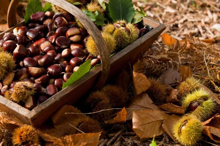 Come raccogliere e selezionare e conservare le castagne for Raccogliere castagne