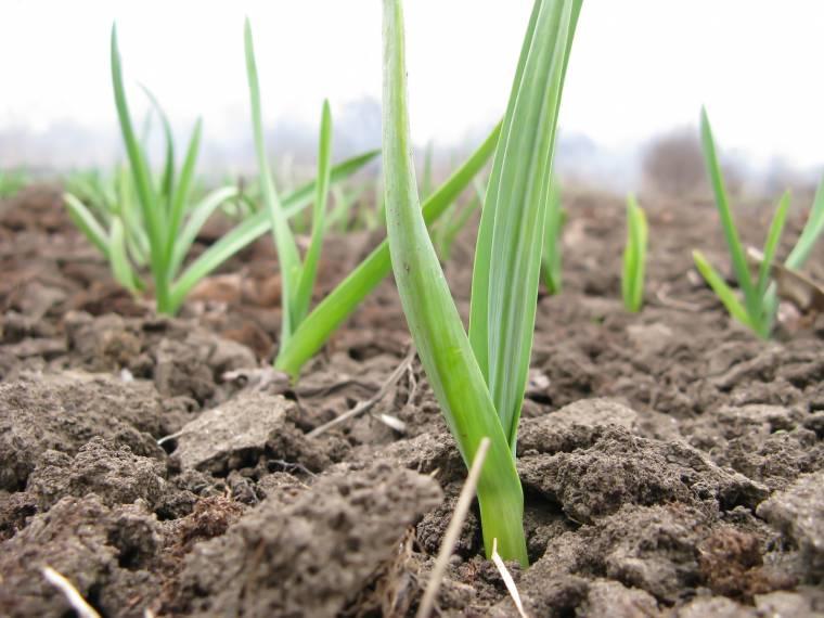 5 cose da sapere se vuoi seminare l 39 aglio for Aglio pianta